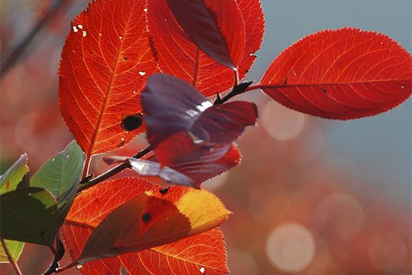 buntes Herbstlaub am Aroniastrauch