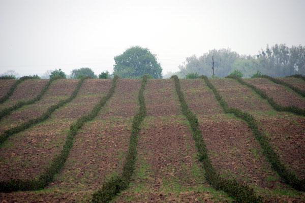 Aroniaplantage - Aronia als Kulturpflanze