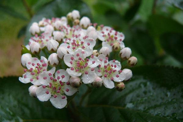 weiß/rosa Aroniablüte im Frühjahr