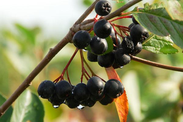 Aroniafrüchte am Strauch