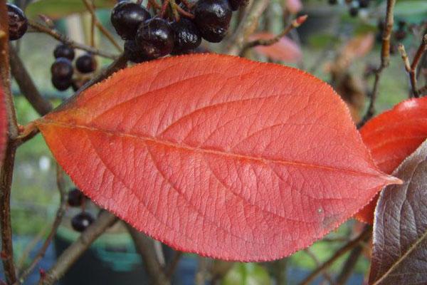 Herbstlaub Aroniabeere