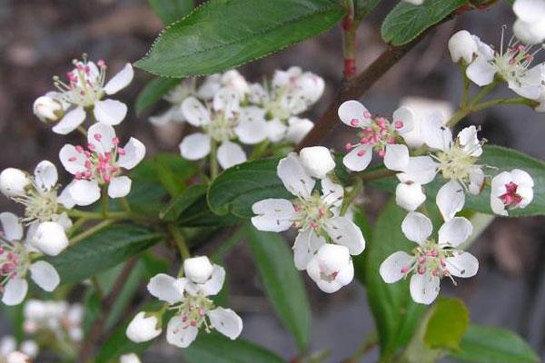 rosa-weiße Aroniablüten im Frühling