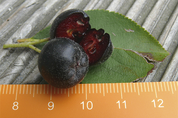 kleine Apfelbeere