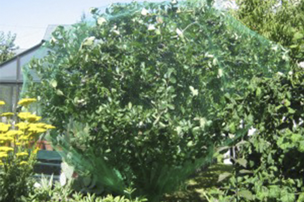 großer Aroniabaum