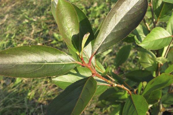 Aroniapflanze mit Blättern