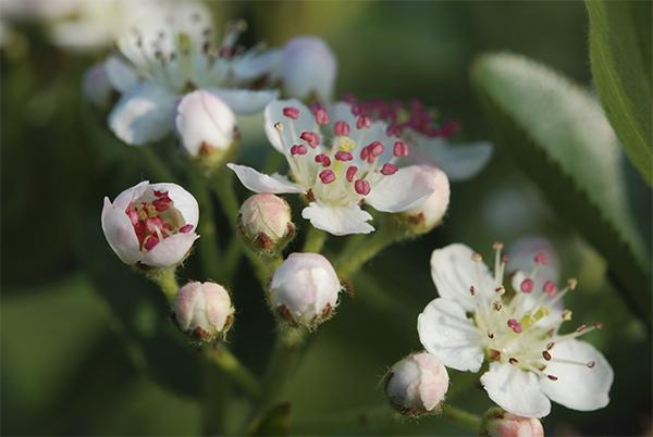 Aronia Blüten im Frühling
