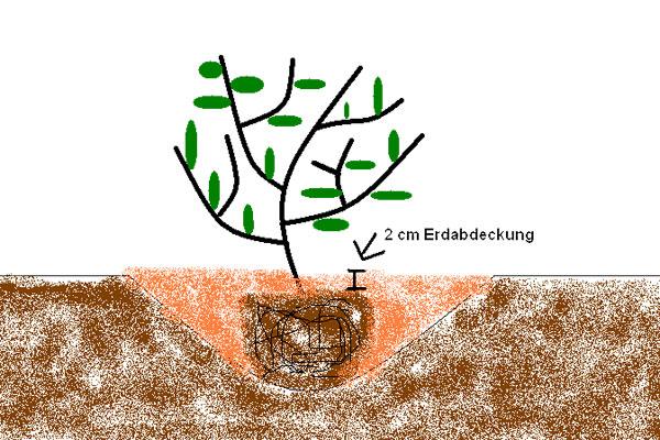 Aroniapflanze einpflanzen